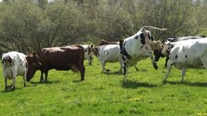Cowsonspringgrass