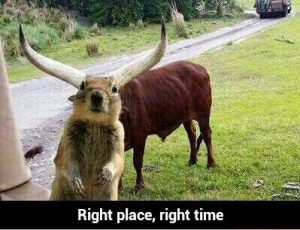 The photographer, the squirrel and the steer all made it to the right place at the right time for this picture.