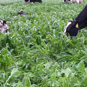Grazing sorghum-sudan and brassicas