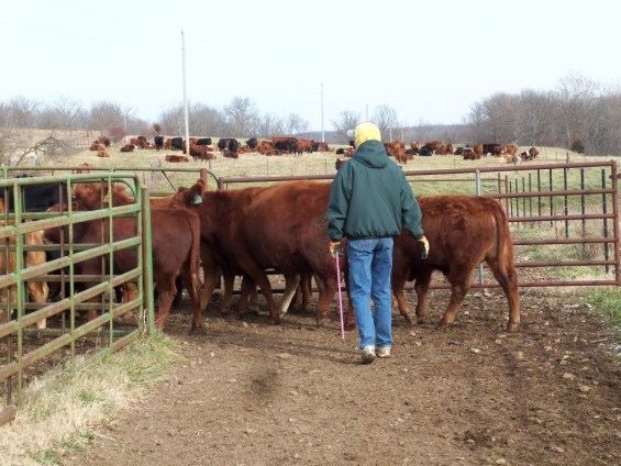 Judy loading the sorting pen.