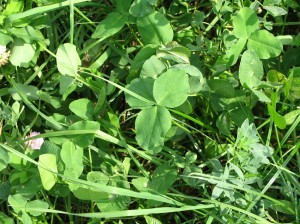 This photo shows an excellent amount of legumes in the pasture. Photo by Nancy Glazier.