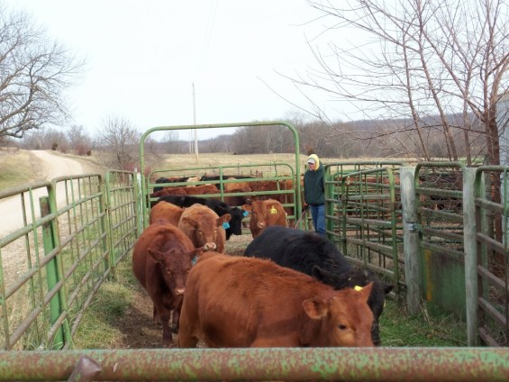 Calves being sorted from their mothers.