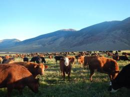 Cattle will generally consume at least 60% of their total daily forage intake from roughly a half-hour before sunrise to 2-3 hours after sunrise.