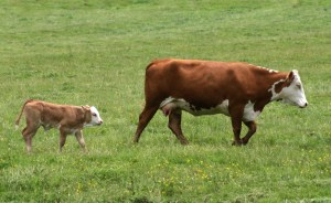 HerefordCowandCalf
