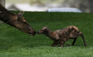 Newborn elk calf by Jim Peaco of Yellowstone National Park.