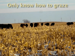 Sand Ranch Cattle only know how to graze