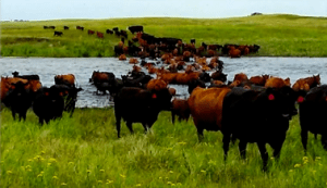Sand Ranch Cows