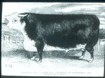 1882_champion_steer_smithfield