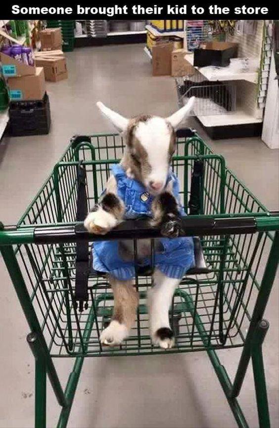 goat kid in shopping cart