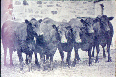 kinochtry_heifers