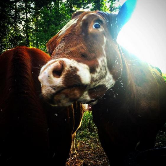 jason-detzel-big-eyed-cow