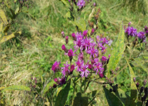 Tall Ironweed can be beneficial to pollinators, but not too good as pasture.