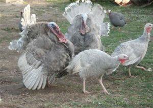 Photo courtesy of Porter's Rare Heritage Turkeys