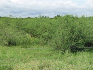 Example of huisache overgrowth in pasture. Photo from Texas AgriLife.