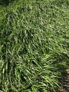 Most ryegrasses are very leafy - great for digestibility, but also good for snow mold.