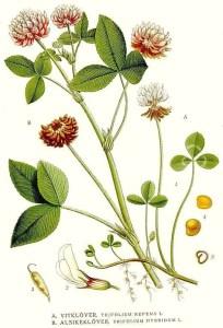 Illustration-of-White-clover-