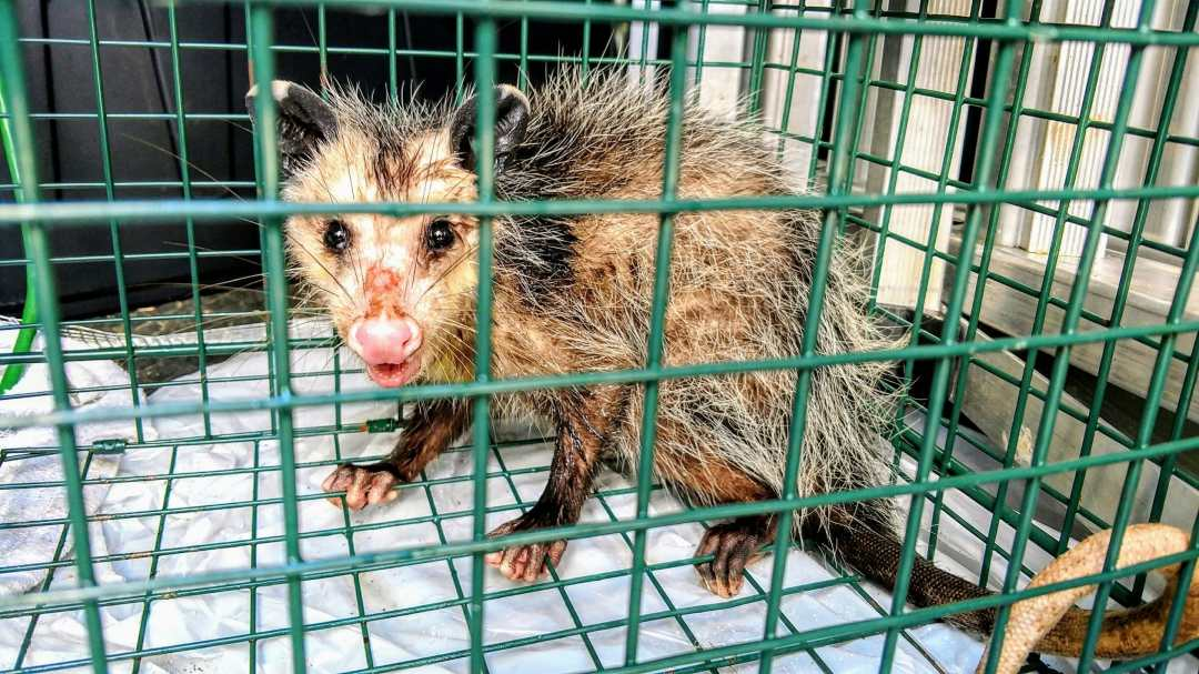 Picture of nuisance opossum