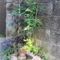 ミセバヤ開花
