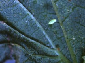 Lacewing egg 1