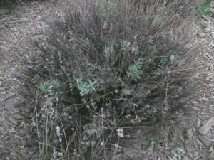 Lavender Phytophthora Fig 2