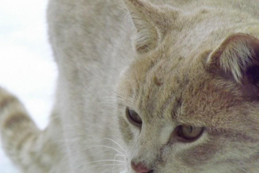 head of yellow cat
