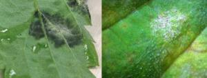 "Downy mildew (left) versus powdery mildew (right) spores.  Powdery mildew spores are white instead of dark, may appear more ""powder-like"" and can be found on both the upper and lower leaf surface."