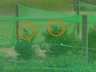 Cedar Waxwings perched on haskap plants under bird netting at the Simcoe Research Station, 2016