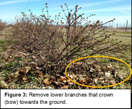 Pruning haskaps picture 3
