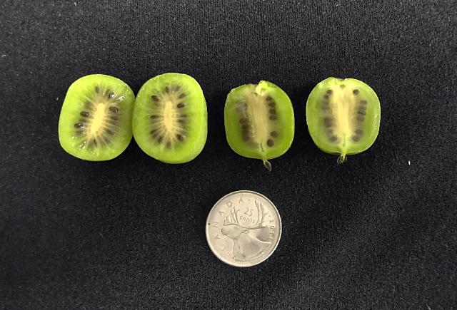 black-seed-stage-of-kiwiberries.png