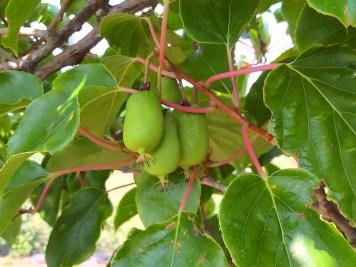 Kiwiberries on the vine