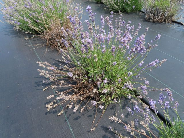 A row of lavender plants in bloom over black plastic with dead and brown sections