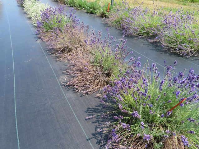 A row of lavender plants in bloom on black plastic with dead, collapsed sections or completely dead