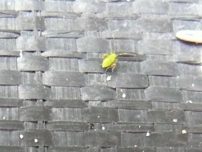 Green nymph of garden fleahopper on black ground cloth