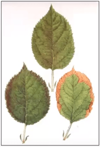 Hazelnut leaves with purpling and browning on margins