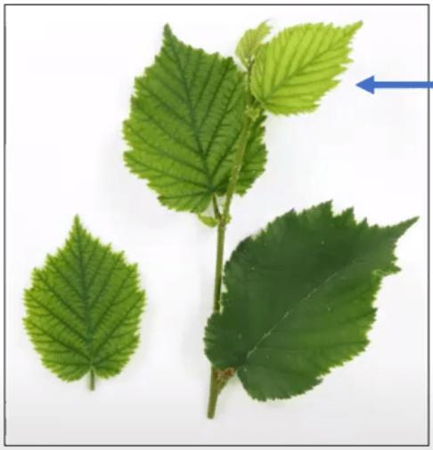 Hazelnut leaves with light interveinal yellowing