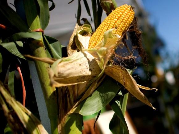 Close up view of fresh sweet corn