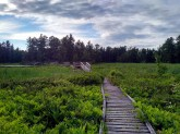 Boardwalk through a beaver pond.