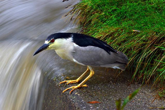 Fast moving water, slow Heron.