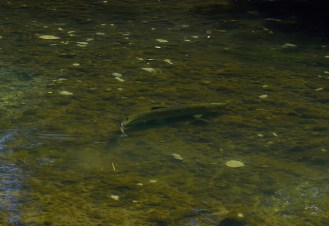 One of many salmon seen (some caught) making its way upstream.