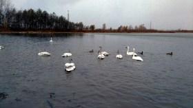 Swans enmass.