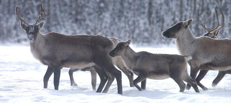 Boreal caribou, calf, family, at risk