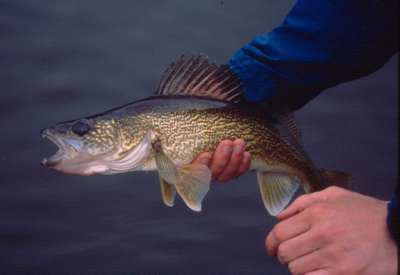 Staying Current on River Walleye Fishing