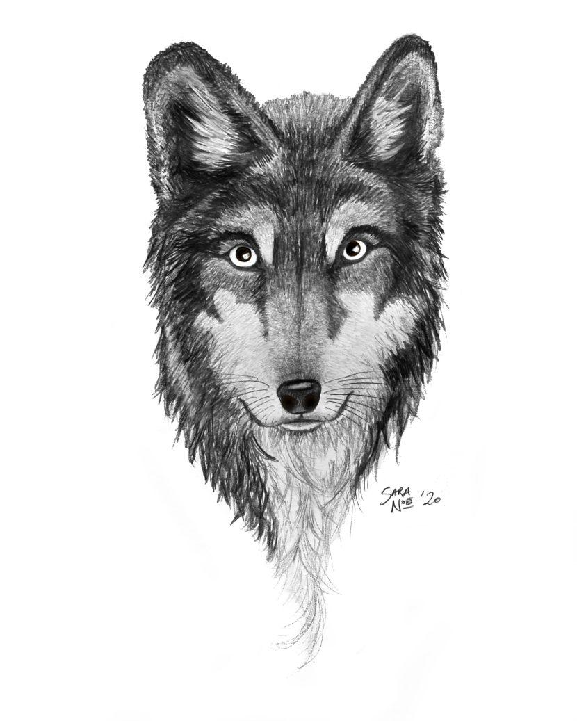 Wolf portrait pencil sketch by Sara A. Noe