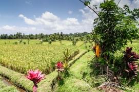 Bali Rice Walk-7