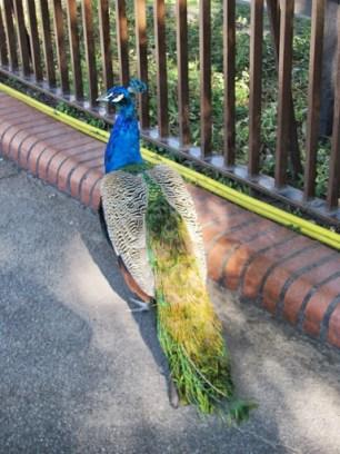 Roaming peacocks