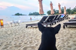 My Thai Canine Friend