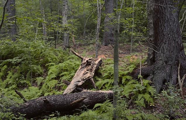 Fallen Tree in Park 2
