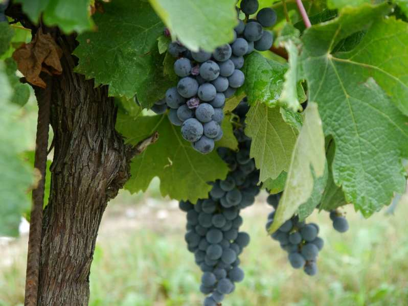 grapes for grappa