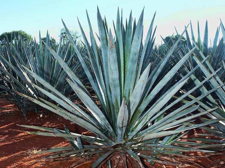 Blue Agave Tequila Plant Mezcal vs Tequi...