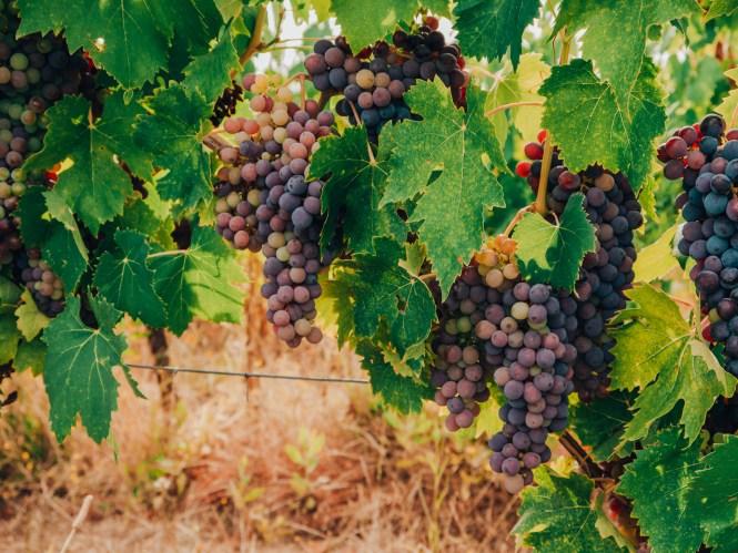 vineyard grape wines